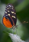 Butterfly 69922