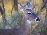 Deer Closeup 71185