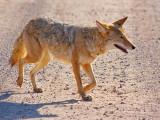 Bosque Coyote 72593