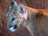 Mountain Lion Closeup 74629