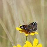 Desert Butterfly 75151