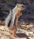 Harris's Antelope Squirrel 75194