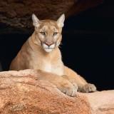 Mountain Lion 74636