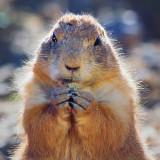 Prairie Dog Closeup 75662