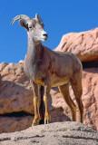 Bighorn Sheep On The Rocks 75783