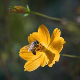 Bee On An Orange Flower 75879