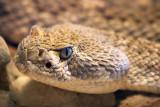 Rattlesnake Closeup 76694