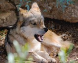 Mexican Wolf 77206