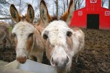 Miniature Donkeys 20080413