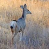 Mule Deer 73276