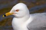 Ring-billed Gull Closeup 87805