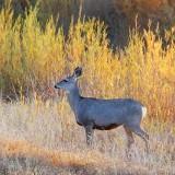 Mule Deer 73294