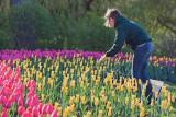Tending The Tulips 88488