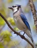 Blue Jay 20080510