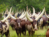 Ankoni cattle1020164
