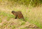 Banded mongoose 20048
