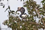 Black  white casqued hornbill_9448