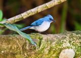 Blue flycatcher_9584