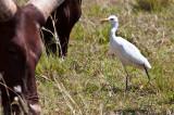 Cattle egret_9079