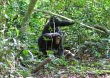 Chimpanzee_9137