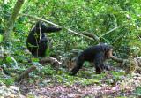 Chimpanzee_9140