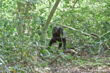 Chimpanzee_9142