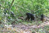 Chimpanzee_9146