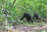 Chimpanzee_9148