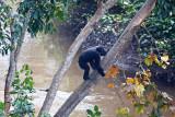 Chimpanzee-12