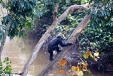 Chimpanzee-13
