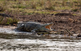 Crocodile_9174