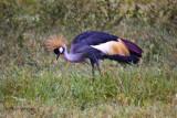 Crowned crane_9589