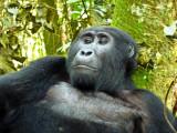 Gorilla 1020070