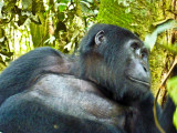 Gorilla 1020072