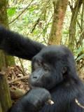 Gorilla 1020094