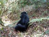 Gorilla 1020098