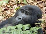 Gorilla 1020116
