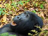 Gorilla 1020121