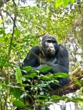 Gorilla 1020132