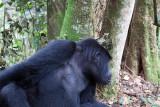 Gorilla_9422