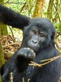 Gorilla1020091