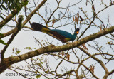 great Blue Turaco_9505