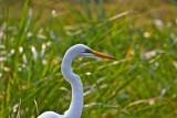 Great white egret_9270