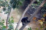 Chimpanzee-10