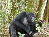 Gorilla 1020068