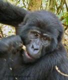 Gorilla 1020093
