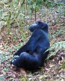 Gorilla 1020099