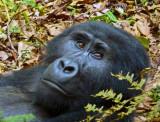 Gorilla 1020119