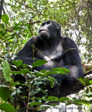 Gorilla 1020134