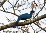 Great Blue Turaco_9506